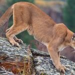 Mountain Lion Killed with Foot